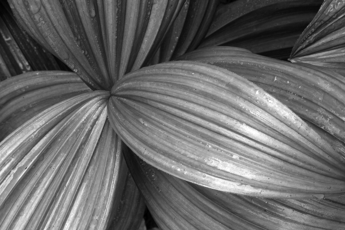 3 Leaves (BW)