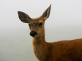 Deer In Fog 2